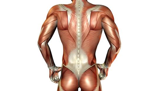 Ansicht der Rückenmuskulatur