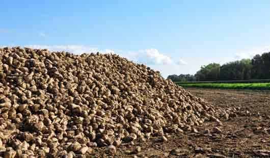 Nordzucker: schlechte Ernte