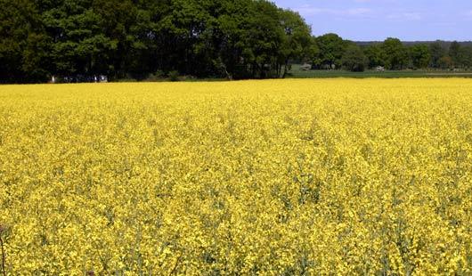 Die Rapsfelder in Niedersachsen blühen gelb