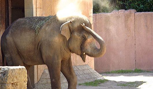 Junger Elefant im Zoo Hannover