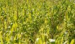 Maisfelder in Niedersachsen