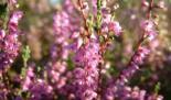 Frühe Heideblüte