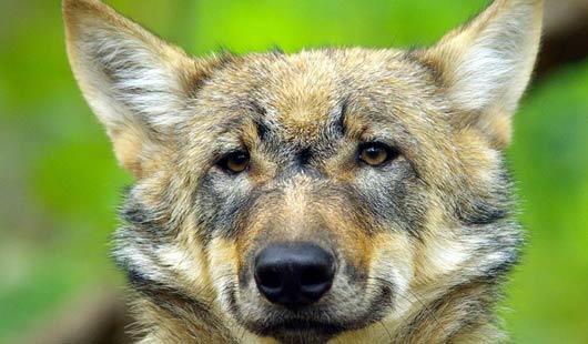Wölfe hautnah erleben: im Wolfcenter Dörverden.