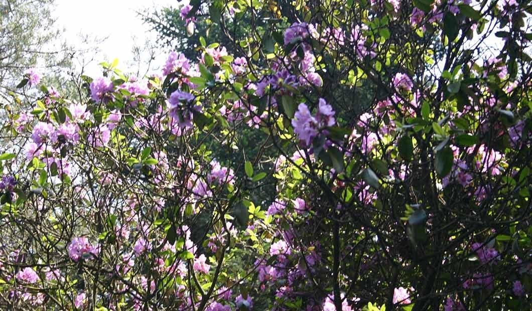 Ein Rhododendron im Hobbie-Park