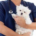 Süßer Hund auf Arm vom Tierarzt