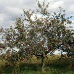 Das Alte Land steht für eine reiche Apfelernte