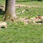 Ausflugsziel im Calenberger Land: das Wisentgehege in Springe