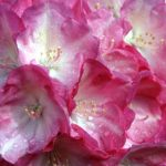 Rhododendronpark Hobbie in Westerstede