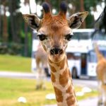 Giraffen im Serengeti-Park Hodenhagen - Foto: Serengeti-Park Hodenhagen GmbH