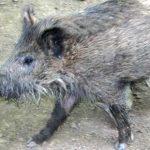 Wildschweine sind auch dabei - Foto Michael Weber